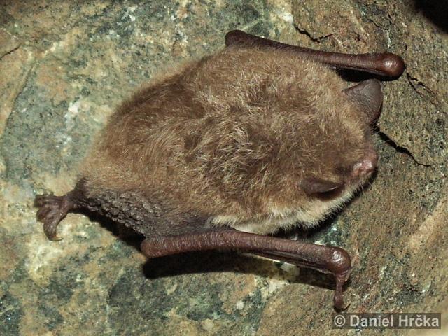 MYOTIS DAUBENTONII (Kuhl, 1817) – netopýr vodní