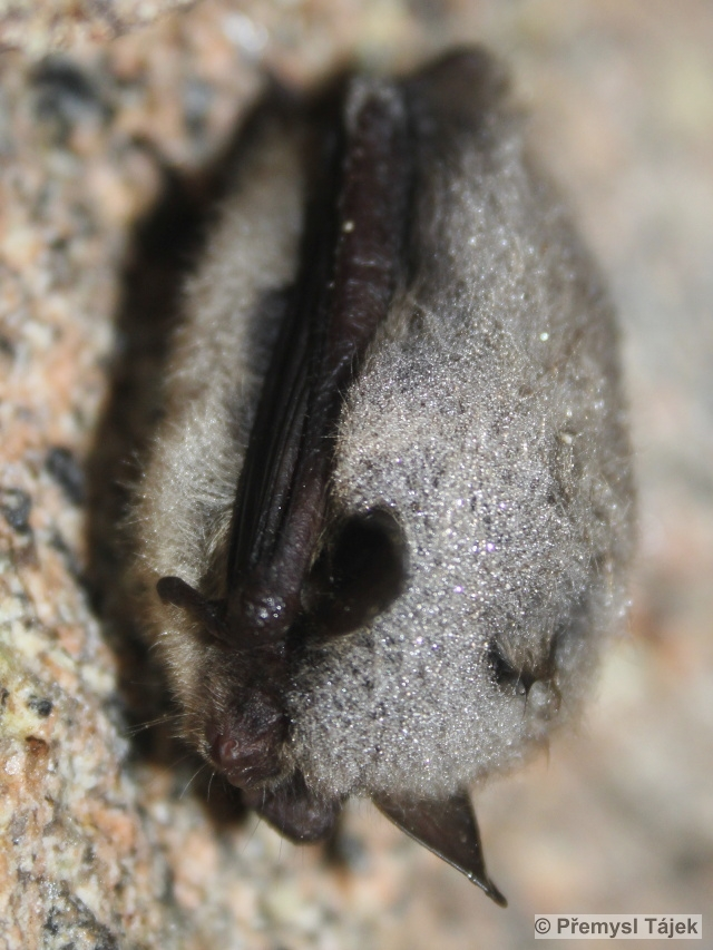 netopýr vousatý