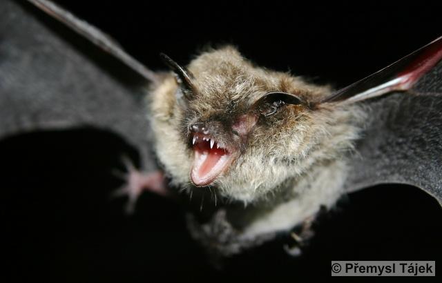 MYOTIS MYSTACINUS (Kuhl, 1817) – netopýr vousatý