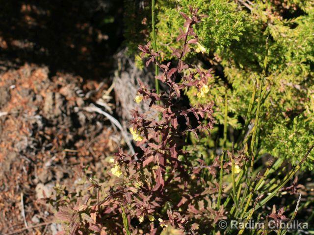 Odontites hollianus