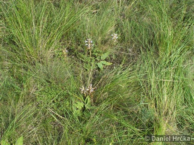 Orobanche arenaria