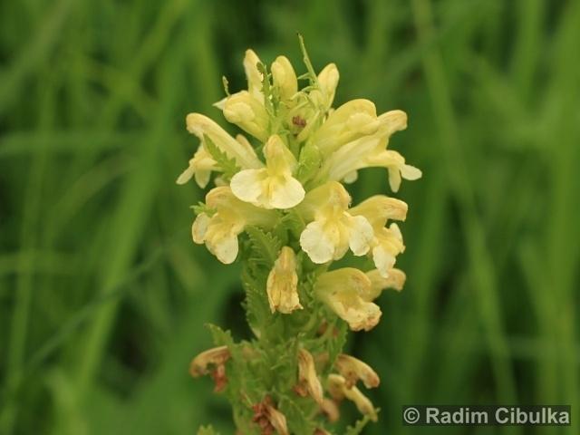Pedicularis exaltata