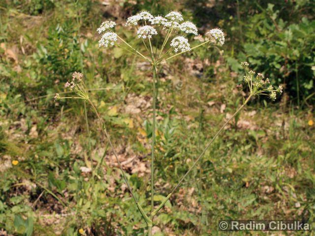 PEUCEDANUM CERVARIA (L.) Lapeyr. – smldník jelení