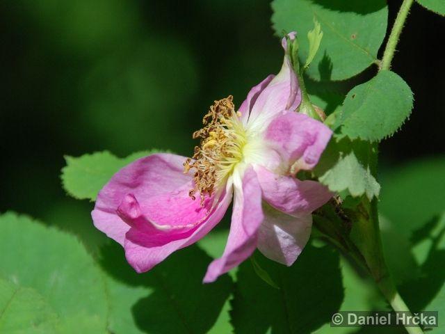 ROSA PENDULINA L. – růže převislá