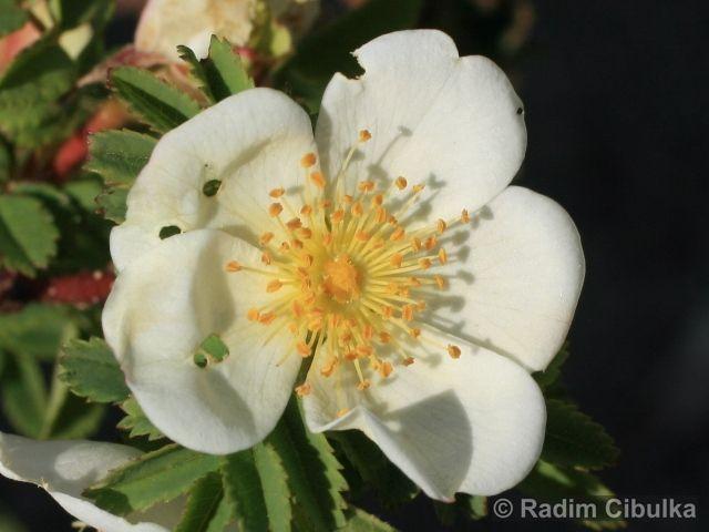 ROSA SPINOSISSIMA L. – růže bedrníkolistá