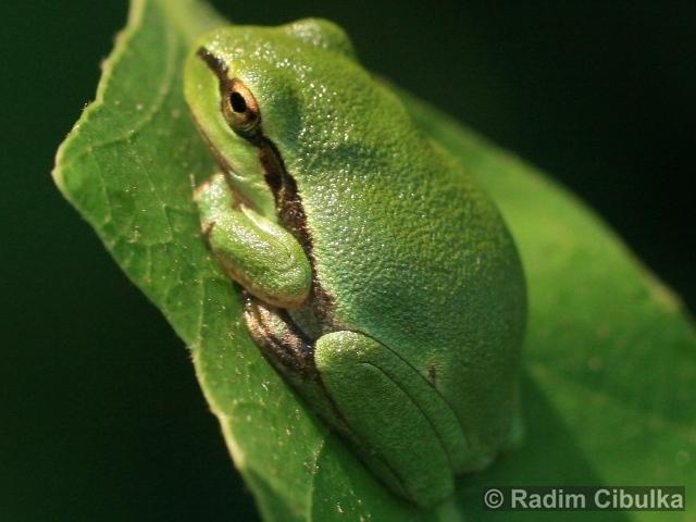 HYLA ARBOREA (Linnaeus, 1758) – rosnička zelená (foto)
