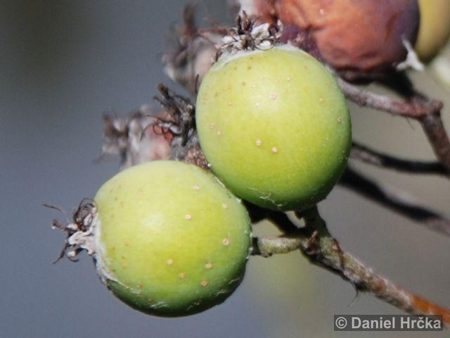 Sorbus danubialis