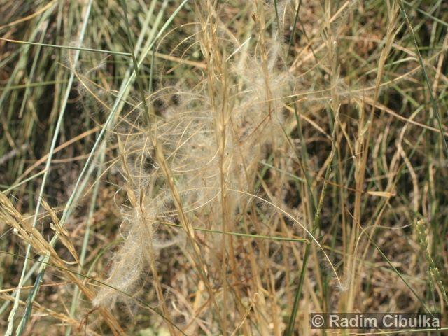 Ohrožená pražská příroda: KAVYL IVANŮV (Stipa pennata)
