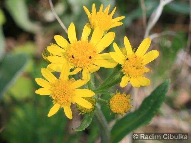 TEPHROSERIS INTEGRIFOLIA (L.) Holub – starček celolistý