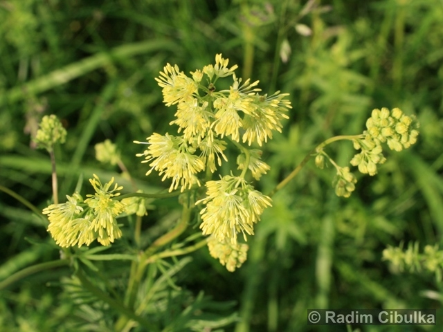 Ohrožená pražská příroda: ŽLUŤUCHA LESKLÁ (Thalictrum lucidum)