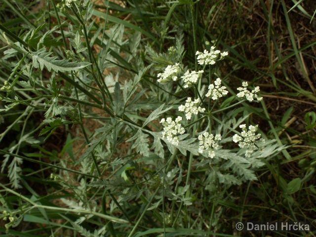 Ohrožená pražská příroda: TOŘICE ROLNÍ (Torilis arvensis)