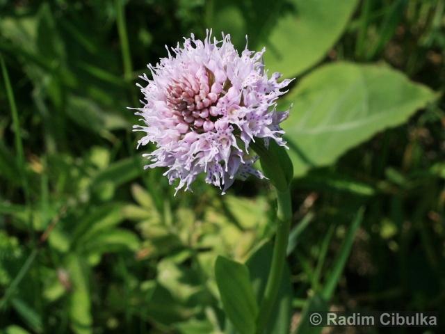 TRAUNSTEINERA GLOBOSA (L.) Rchb. – hlavinka horská