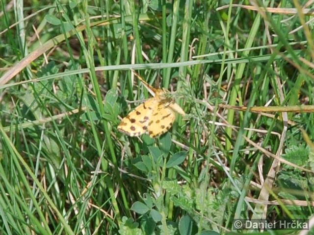 PSEUDOPANTHERA MACULARIA (Linnaeus, 1758) – zejkovec hluchavkový (foto)
